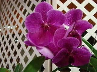 Vanda Seedling Orchid Plant Sale! V. Fuchs Delight x V. Dr Anek