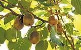 zumari 50 semillas de kiwi amarillo dorado.