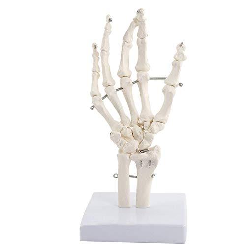 ZHANGYY Modelo de articulación de Mano Humana, Modelo de Esqueleto con articulado, Montaje en Base, Esqueleto de PVC, Modelo anatómico articulado