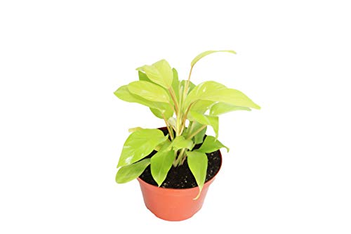 Philodendron hederaceum Lemon Lime 8