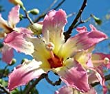 Chorisia speciosa exótico árbol en flor de seda...
