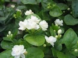 Kostenloser Versand White Jasmine Samen, Duftpflanzen arabischen Jasmin-Blumen-Samen-20 Particle / bag