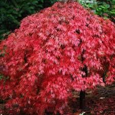 zumari 20 Red Acer Tartaricum Tree Seeds