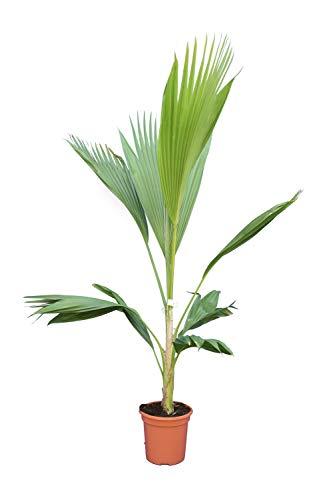 Zimmerpflanze - Hillebrands Palme - Pritchardia Hillebrandii - Gesamthöhe 160-180cm - Topf Ø 21cm