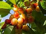 Alick 15 semillas de fruta de cereza dulce Rainier