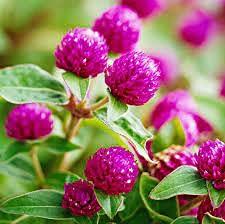 Genipap 100 semillas de flor de amaranto de globo.