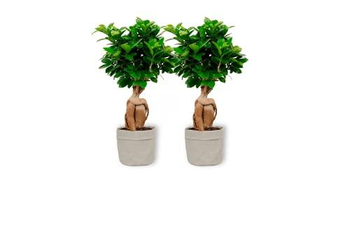 Ficus Ginseng – higo chino – Bonsái de interior en bolsa decorativa gris – Altura +/- 25 cm incluida maceta – 12 cm de diámetro – Fácil cuidado Bonsái Palme