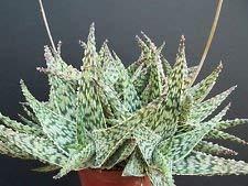 Exotiques hybrides Aloe Doran Noir Dorian Couleur Agave Succulent Rare Seed 100 graines