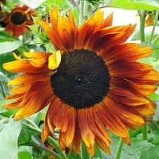 Portal Cool Sonnenblumenkerne - Crimson Queen - Helianthus Annuus - Einjährige Pflanze - 10 Samen