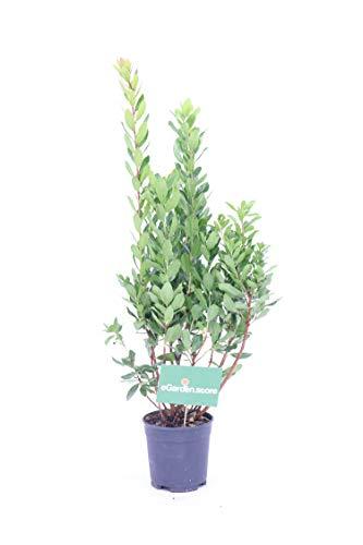 pianta di Corbezzolo (arbutus unedo) pianta da frutto pianta da esterno pianta da giardino v18cm