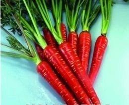 Il vous suffit de graines de carotte???Rouge Samurai F1?500?graines