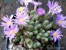Rare Conophytum BILOBUM @ j @ mesemb Esotico semi roccia viva Pietre semi 15 semi