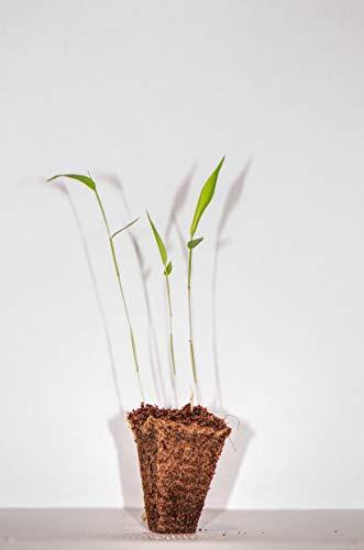3 Pflanzen Moso Riesenbambus - Sämlinge - Lieferhöhe: 5 bis 10 cm + 25 Gramm McBambus Bambusdünger