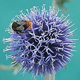 Hinterland Trading Globe Thistle Butterfly and Bee Love Them! Brilliant Silver Blue 25+ Seeds by Hinterland Trading