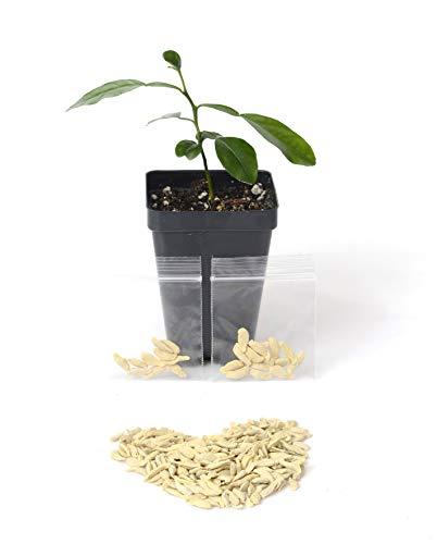 Kaffir Lime Tree Seeds. Citrus Hystrix. Makrut Lime (12 Seeds)