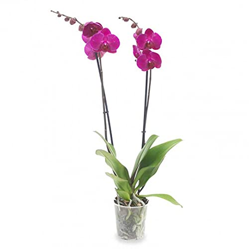 Planta Orquidea phalaenopsis natural 2 tallos maceta Ø12cm - Verdecora… (Morada)