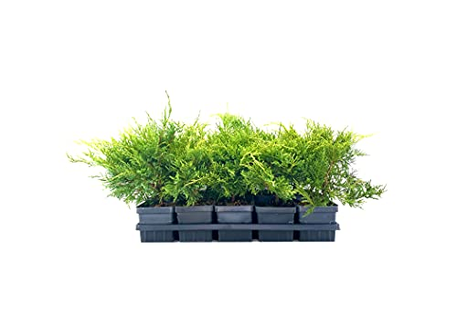 Gold Star Juniper | 5 Live 4 Inch Pots | Juniperus Chinensis | Drought Tolerant Cold Hardy Evergreen Groundcover Plants