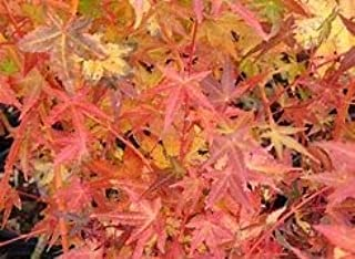(2 Gallon) Bihou Japanese Maple Also Called Golden bark is a Small, Upright Tree with Yellow-Green Leaves exhibits Outstanding Winter Interest with an Unusual, Golden Yellow, Apricot Colored bark.