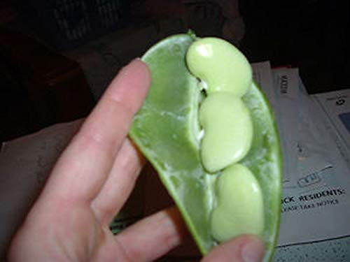 Big Mama Lima Bean Seeds (25 Seed Package)