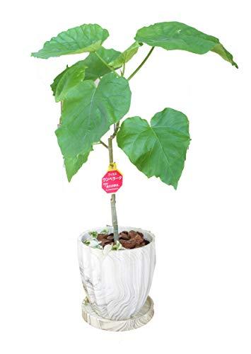 ハート形の大きな葉っぱが人気 ウンベラータ ホワイトウッド調 インテリア陶器鉢入り 人気観葉植物 インテリア グリーン 結婚祝い 新築祝い 開店祝い オープン記念