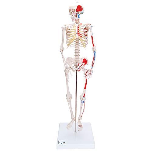 3B Scientific Menschliche Anatomie - Mini-Skelettmodell mit Muskelbemalung + kostenloser Anatomiesoftware - 3B Smart Anatomy, A18/5