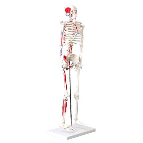 Cranstein A-118 Mini-Skelett Modell mit Muskelbemalung, 85cm - Anatomie-Modell als Lernmodell oder Lehrmittel