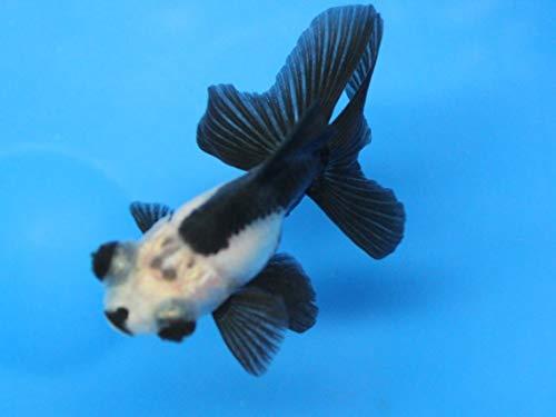 Panda 3 Pack Live sm moor Goldfish for Aquarium Fish Tank or Pond
