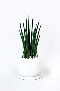 【ミニ陶器ポット・選べる樹種、ポット】サンスベリア バキュラリス・ボールポット ミニ 観葉植物 インテリア グリーン