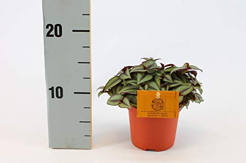 Zimmerpflanze von Botanicly – Dreimasterblume – Höhe: 10 cm – Tradescantia zebrina