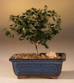 Bonsai Boy's Flowering White Serissa Bonsai Tree- Small-Bonsai Tree of a Thousand Stars serissa japonica