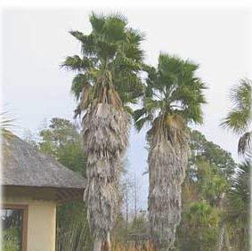 10 graines de mexicaine Fan Palm Sky Palm Duster P75 (Washingtonia Robusta)