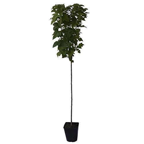 Müllers Grüner Garten Shop Titania (S) schwarze Johannisbeere Hochstamm ca 80-90 cm Stamm hoher Ertrag im 3-5 Liter Topf