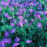 Vistaric Nueva Azul y Rosa Plantar Geranios Sementes De Flores Raras Doble Cplor Home Garden 50 pcs * bolsa Barato Pelargonium Bonsai Seeds