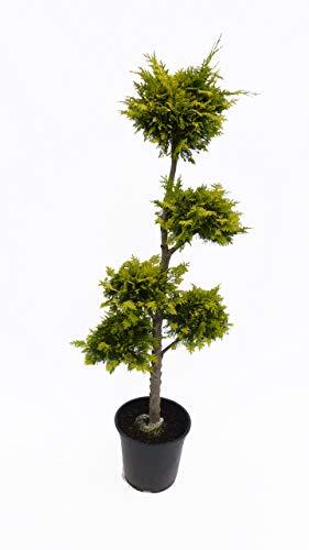 gelbe Scheinzypresse 140-150 cm Ivonne Chamaecyparis lawsoniana Zypresse Pon Pon