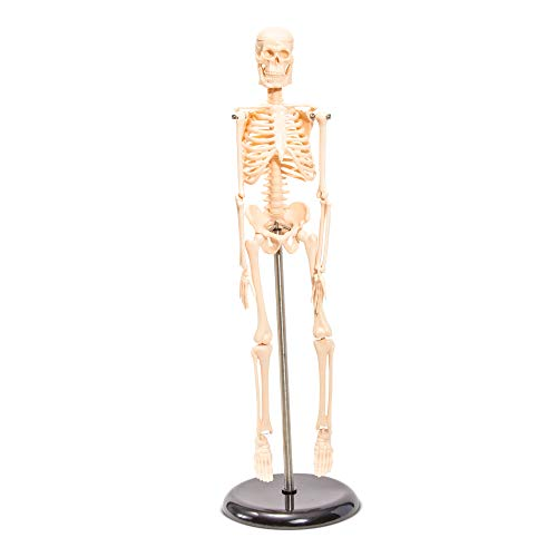 Juvale Human Skeleton Model - Small Anatomical Skeleton for Tabletops Base Mounted - 17.5 inches