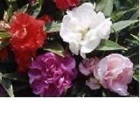 40+バルサムミックス/年次花の種