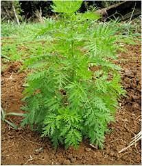 Genipap 100 piezas de semillas de plantas de Artemisia annua