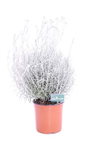 Pianta di Elicriso pianta di Helichrysum Italicum pianta da esterno pianta aromatica pianta vera venduta da eGarden.store