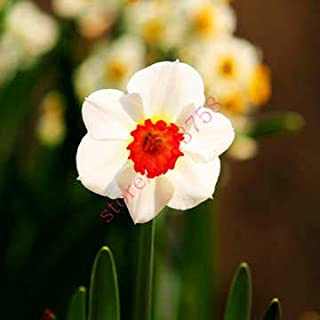 AGROBITS semillas 100pcs narciso (no bulbos de narcisos), semillas de flor del narciso plantas acuáticas, flor perenne para las mini plantas de jardín: 6