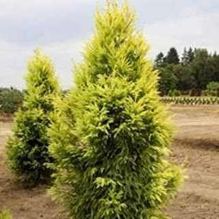 Cryptomeria Sekkan Sugi Golden Japanese Cedar Seeds z6a