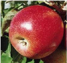 Apfelbaum Jonagold - 150 – 180 cm -...