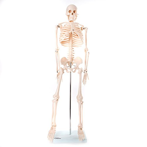 66fit MEDIUM SKELETON - 85CM TALL