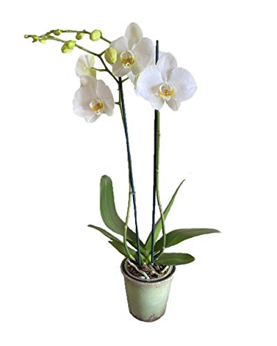 Earthly Orchids Live Orchid Plant - Vanilla Sundae 2 Spike, White, Large