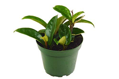"""Hoya 'Carnosa' - 4"""" Pot - Wax Plant"""