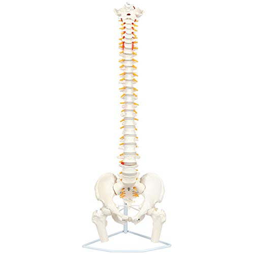 """Axis Scientific Ultra Flexible Spine Model, 31"""" Life Size Spinal Cord is Flexible with Removable Femur Heads - Includes Stand for Display, Detailed Study Guide, and Worry Free 3 Year Warranty"""