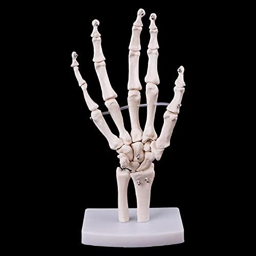 XIOFYA 1 stück Handgelenk Anatomisches Skelett Modell Menschliche medizinische Anatomie Studienwerkzeug Lebensgröße Medizinische Wissenschaft Schreibwaren