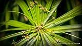 El papiro Cyperus raras @ j @ Papel Reed juncia...