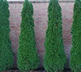 Emerald Arborvitae - Live Plants 1 Foot Tall by DAS Farms (No California)