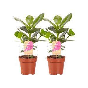 Zimmerpflanze von Hellogreen - 2x Clusia Prinzessin - Höhe: 35cm