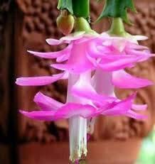 Pink Christmas Cactus Plant - Zygocactus - 6' Pot From Jmbamboo